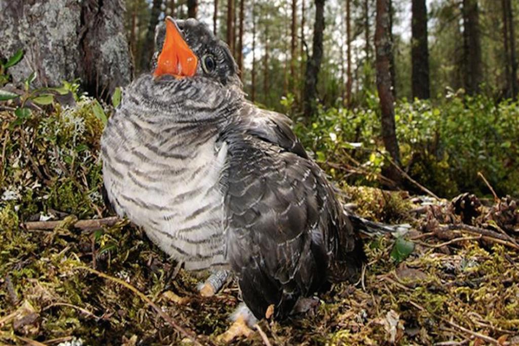 طيور الوقواق الروسي يسيطرون على ألاسكا